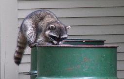 Raccoons thrive on open and accessible garbage left by humans
