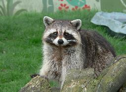 Rabies was not found in raccoons in the Northeast until people brought rabid raccoons to the area