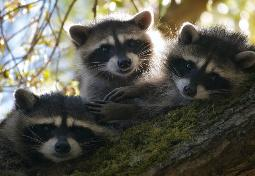 Raccoons are now an established part of protected urban wildlife