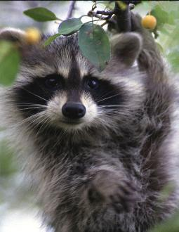 Raccoons are not aggressive by nature and best left alone