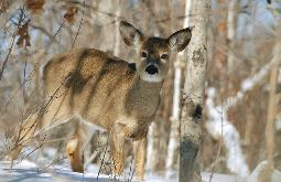 Avoiding deer vehicle collisions starts with paying attention