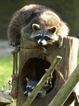 Infected raccoons avoid humans and all wildlife should not be interacted with by humans